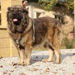 Bela pedigree chien caucasien berger femelle