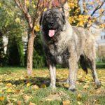 Shiba Caucasian Shepherd Titans Family