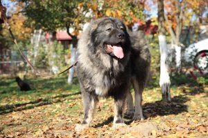 Berger du Caucase automne