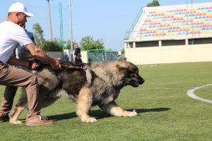 Concours de berger du Caucase - Ken