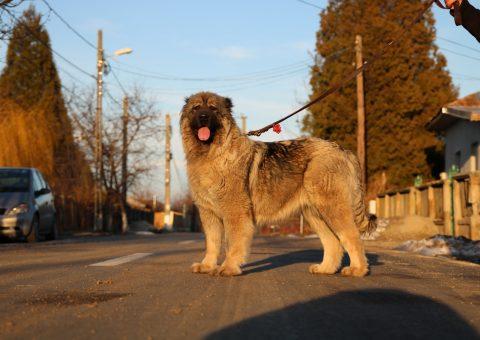 Chienne de Berger du Caucase Champion
