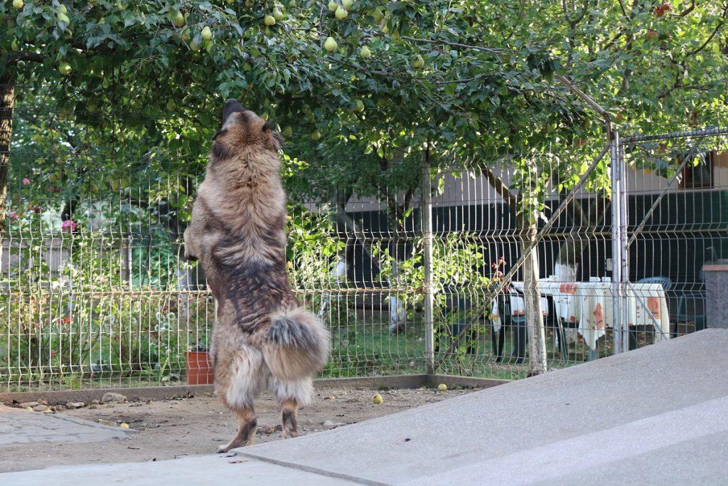 Alimentation des Bergers du Caucase