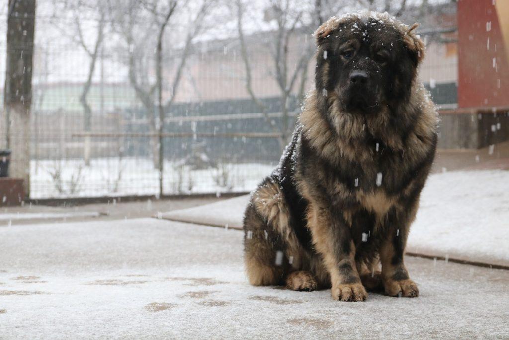 Berger du Caucase dans l'hiver